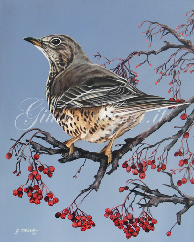 Tordela (turdus viscivorus viscivorus) - Year 2011 - Private collection