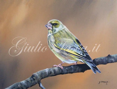 Verdone (carduelis chloris chloris) - Year 2011 - Private collection