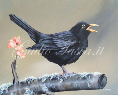 Merlo (turdus merula merula) - Year 2011 - Private collection