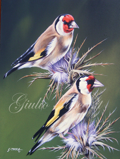 Cardellino (carduelis carduelis) - Year 2011 - Private collection