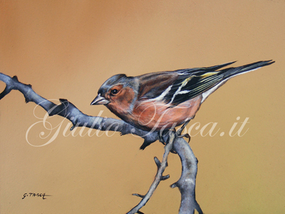 Fringuello (fringuilla coelebs  coelebs) - Year 2011 - Private collection