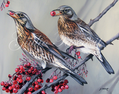 Cesena (turdus pilaris) - Year 2011 - Private collection