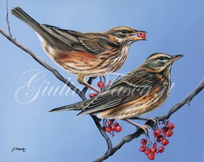Tordo sassello (turdus iliacus iliacus) - Year 2011 - Private collection